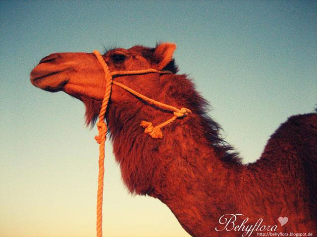Ein Kamel in der Weißen Wüste