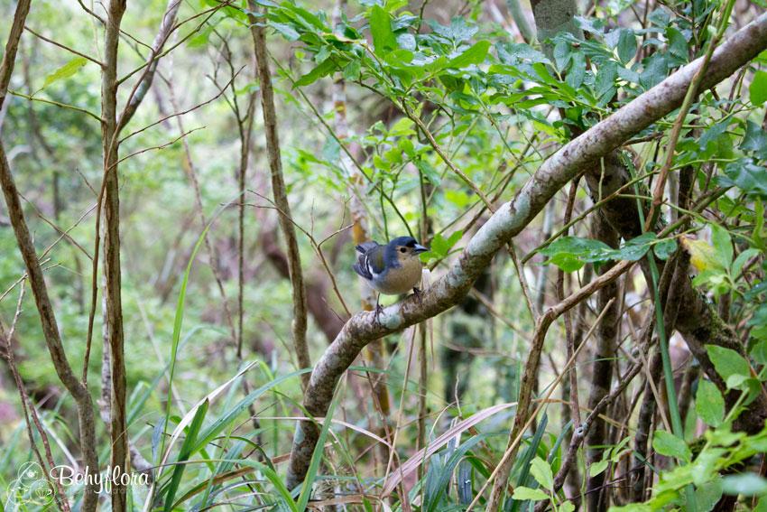 Buchfink auf Madeira