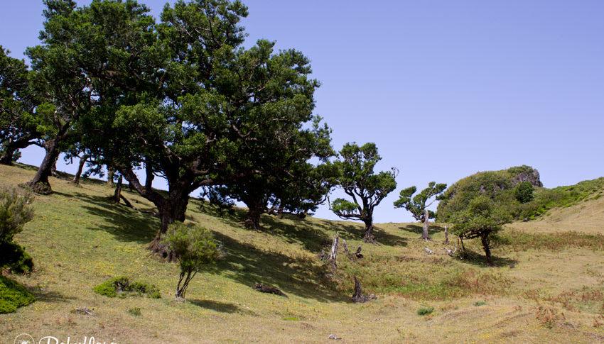 Dicht an dicht stehen die alten Lorbeernäume